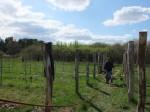 Weinland Brandenburg II – Neupflanzung